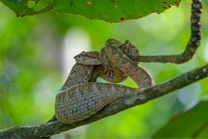 Costa Rica snake