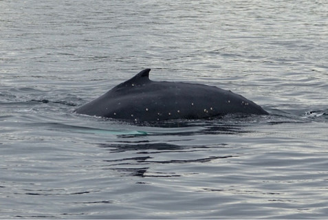 Humpback whales, penguins and sea lions in Ushuaia