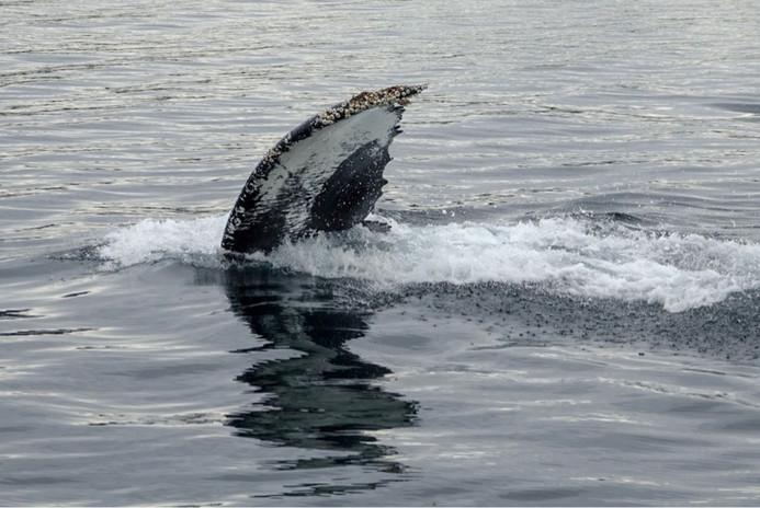Humpback whale Ushuaia