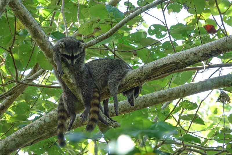 Racoons Costa Rica