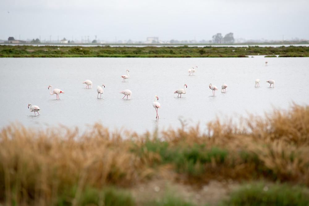 Flamingos Delta de l'Ebre Natural Park
