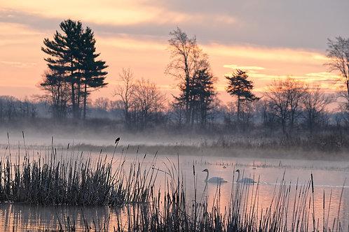 RWBB with Swans