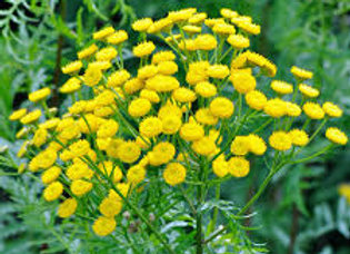 Blue Tansy 15% in Jojoba, 10 ml