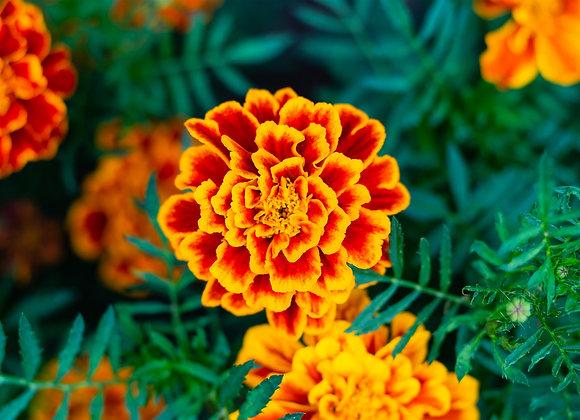 Marigold Flower 10% in Jojoba, 10 ml