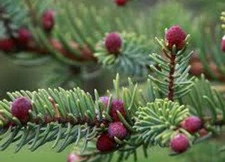 Spruce, Black 50% in Jojoba 10 ml