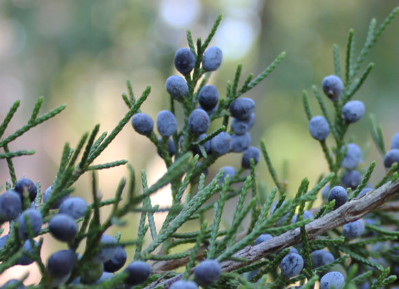 Juniper Berry, Wild  10 ml or 15 ml diluted 25% in jojoba
