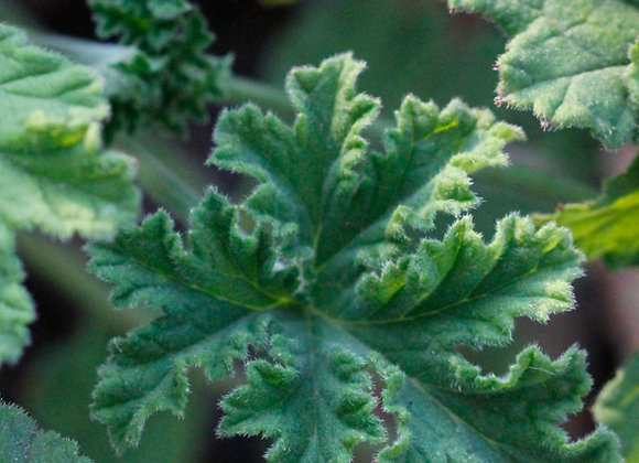 Geranium, Rose  10 ml or 15 ml diluted to 50% in jojoba