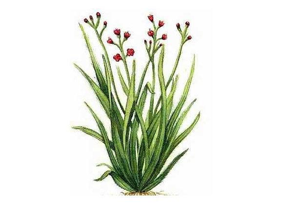 Palmarosa (Organic) 10 ml or 15 ml diluted to 25% in jojoba