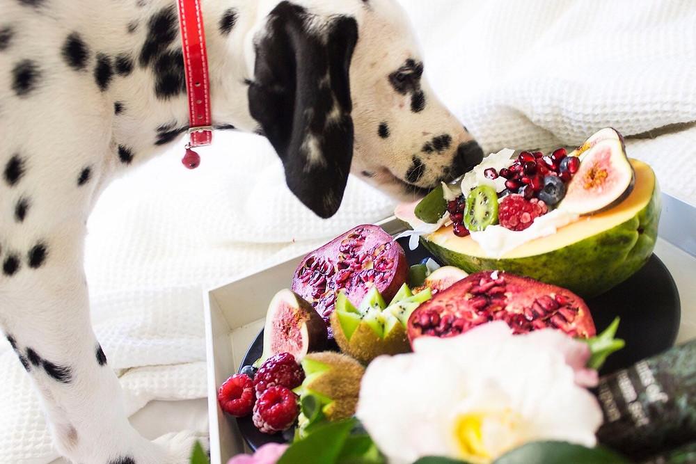 dalmatian dog eating fruit
