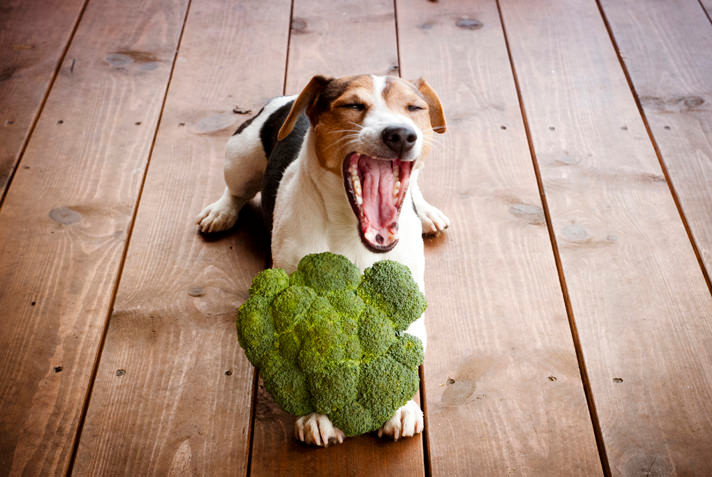 Jack Russel with broccoli