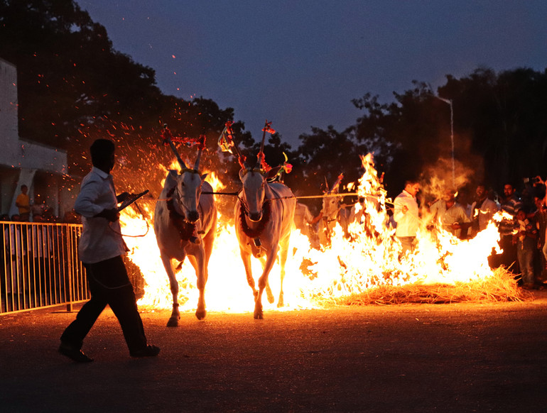 Cows through the flames