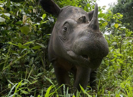 The Last male Sumatran rhino in Sabah has passed away.