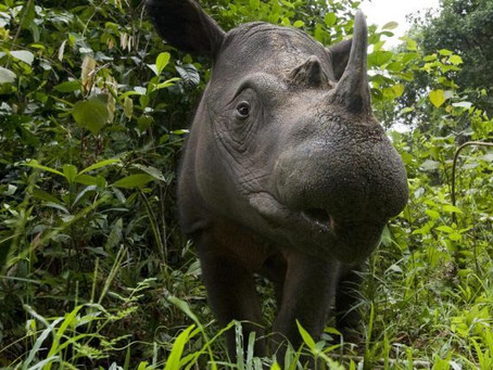 The Last male Sumatran rhino in Sabah has passed away.