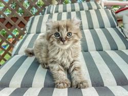 Hera the Highlander Kitten
