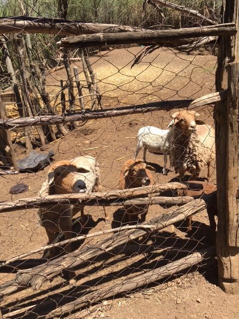 Tall Pauls goats