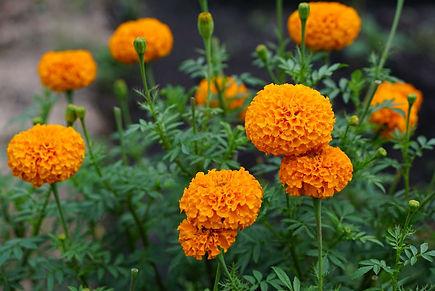 Mexican Marigold.jpg