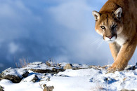 Puma-.jpg