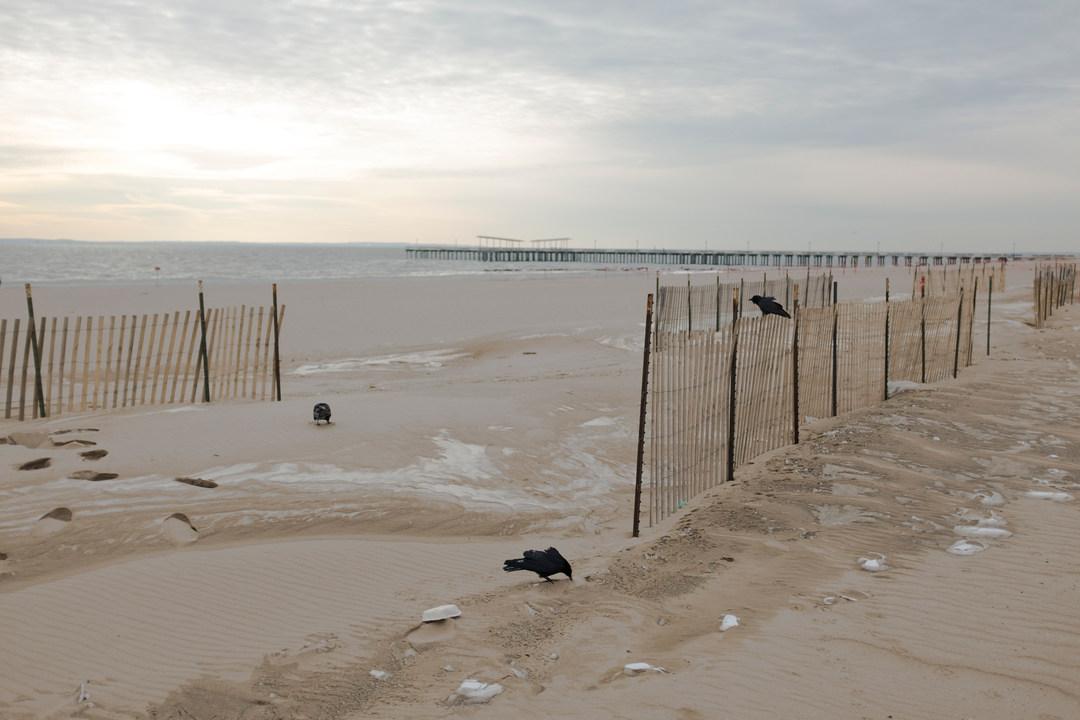 Scavenging crows, Brighton Beach, Coney Island