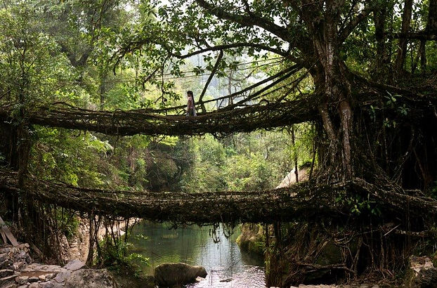 Living Bridge in Khalasi Hills of India  Photo credit: Amos Chapple