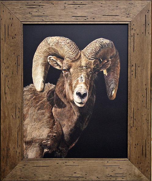 Vivian Etmanczyk's   Regal Ram