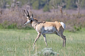 PronghornBuck-3C_6-3-2017.jpg