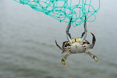 Blue Crab Hanging