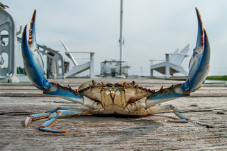 blue crab claws_12x18.jpg