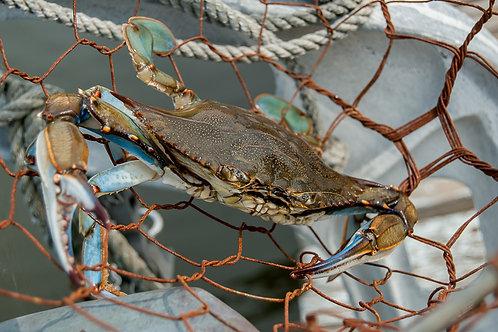 Blue Crab in Dip Net
