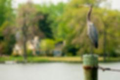 Heron Piling_12x18.jpg