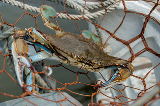 Crab in Dipnet_12x18.jpg