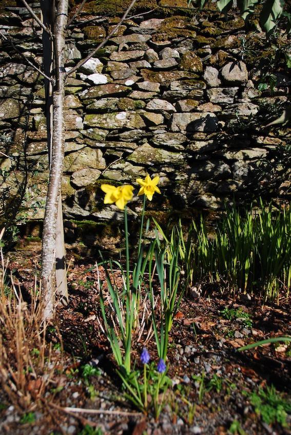 Portrait_Rydal_Mount_daffodils_stonewall