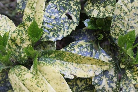 Auc jap Crotonifolia gold.jpg