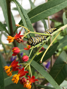 Caterpillar munches on tropical milkweed in Bowling Green, Oh.