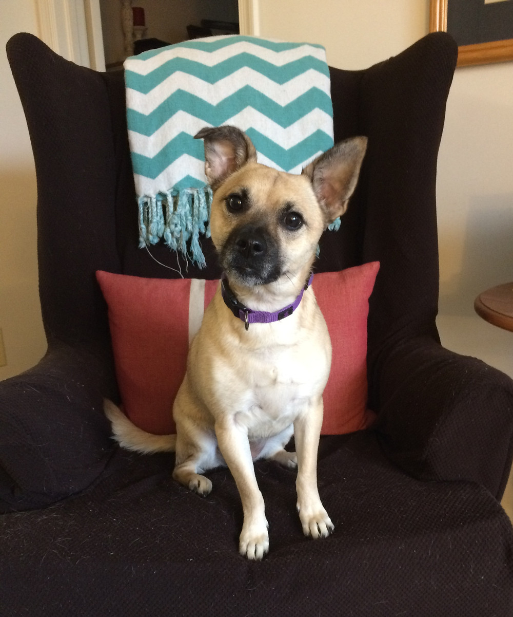 Small mixbreed dog sits on an armchair.