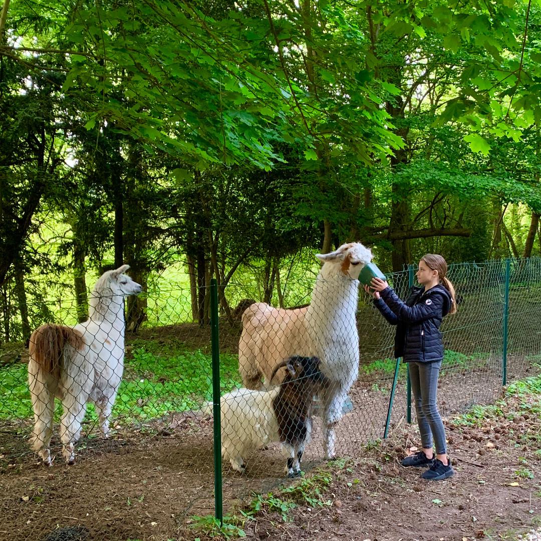 Lamas et chèvre