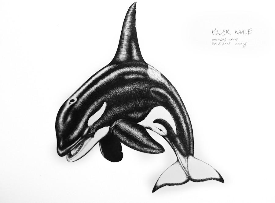 killer-whale_chris-studer-2015-1-of-1.jp