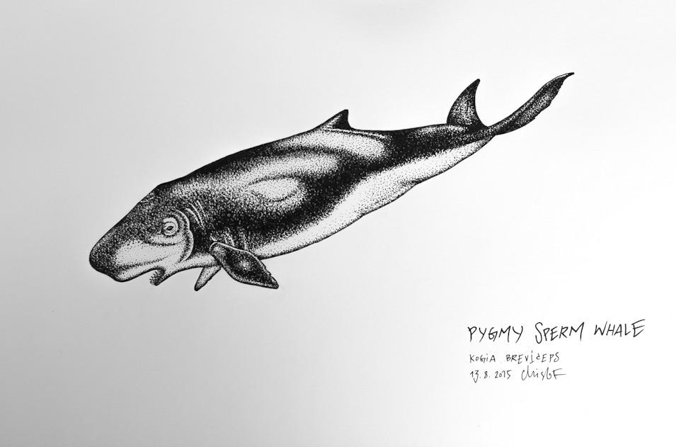 pygmy-sperm-whale_chris-studer-2015-1-of