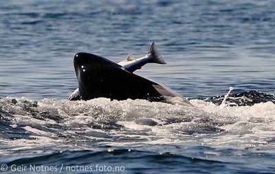 orca-salmon-geir-notnes-2011-2-small.jpg