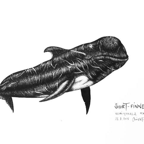 short-finned-pilot-whale_chris-studer-20