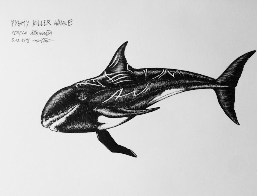 pygmy-killer-whale_chris-studer-2015-1-o