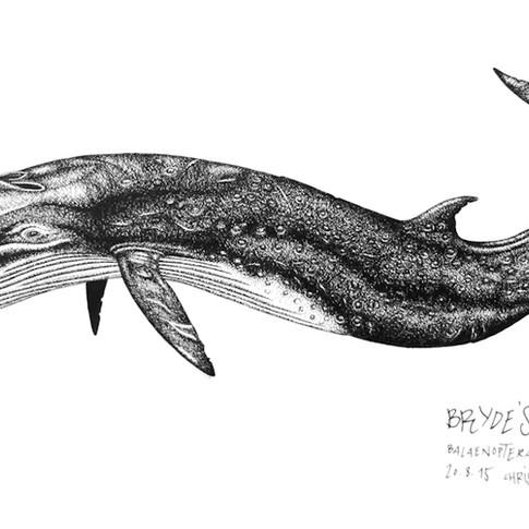 brydes-whale_chris-studer-2015-1-of-1.jp