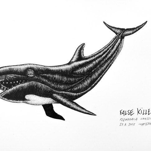 false-killer-whale_chris-studer-2015-1-o