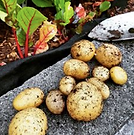 homegrown_potatoes.jpg