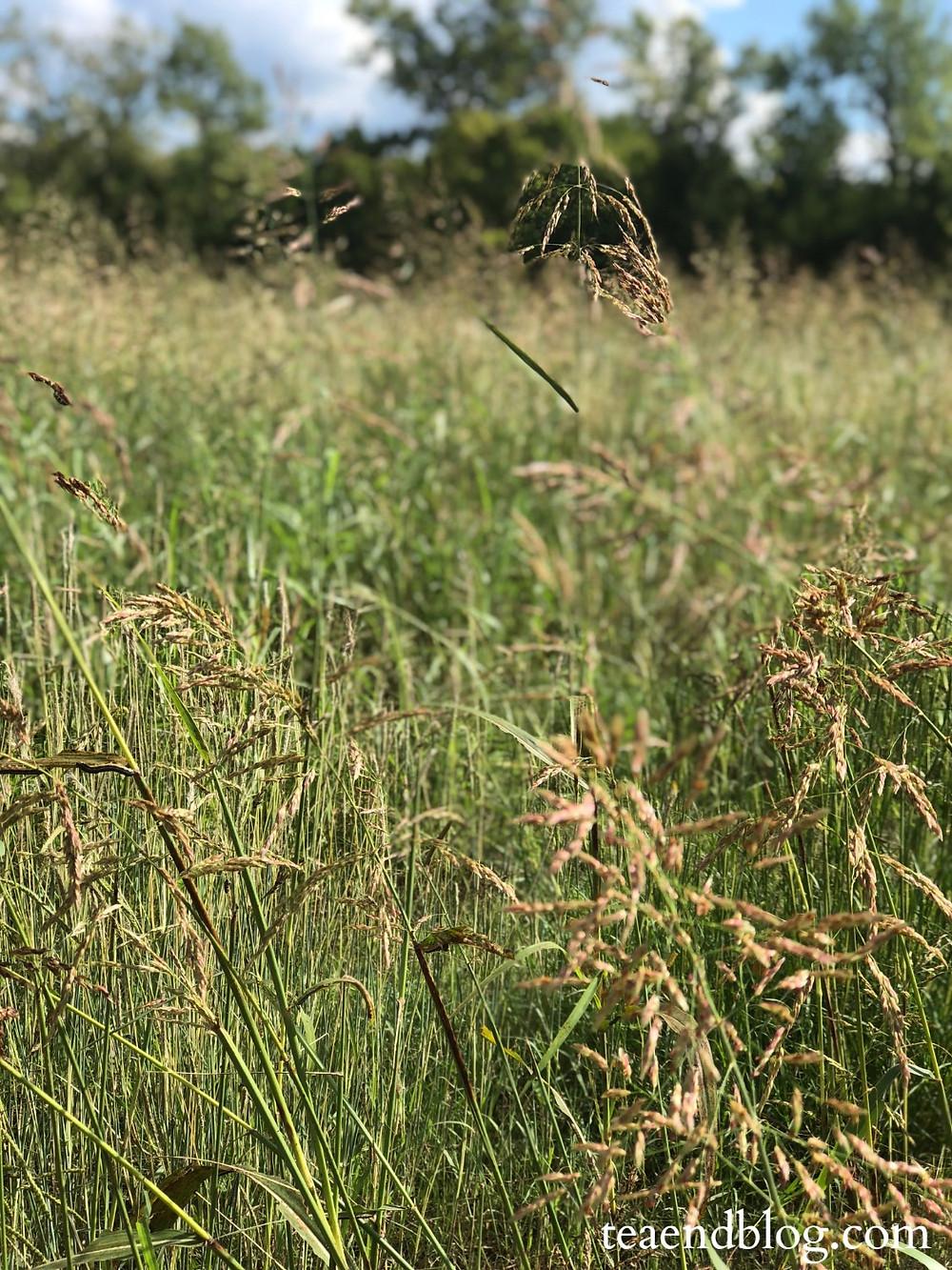 Texas prairie high grass