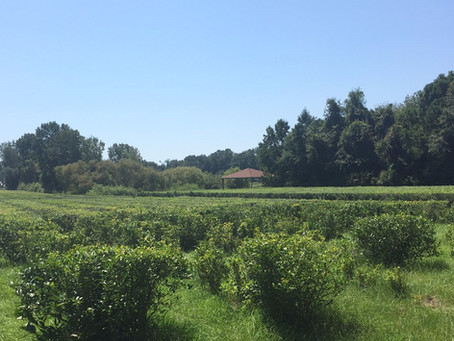 Charleston Tea Plantation | Wadamalaw, SC