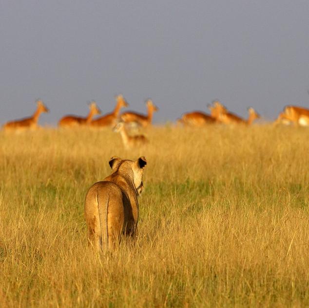 Leonessa a caccia Masai Mara Africa.jpg