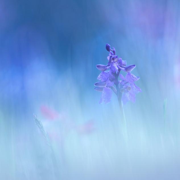 Orchidea Parco nazionale del Vesuvio.jpg