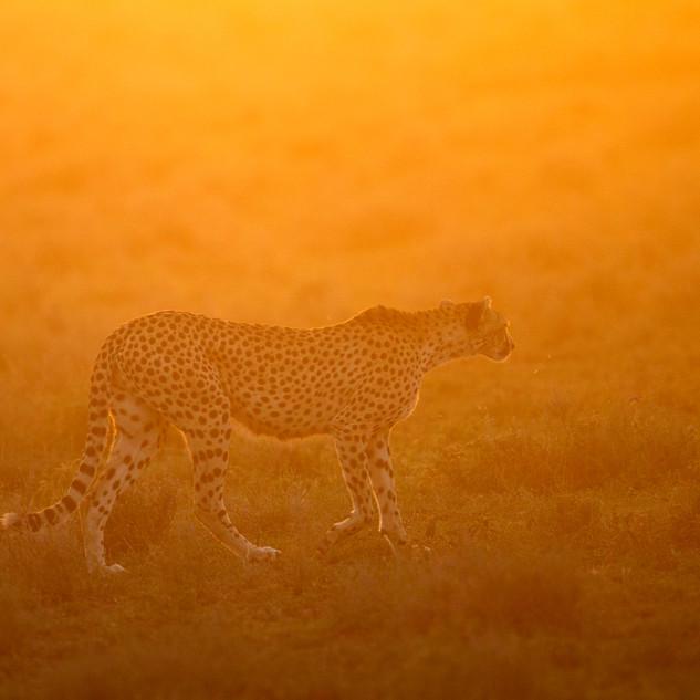 Ghepardo al tramonto Tanzania Africa.jpg