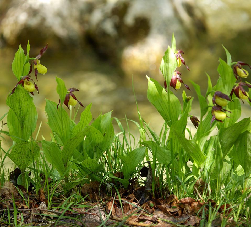 Cypripedium calceolus Linnaeus 1753 - Sc