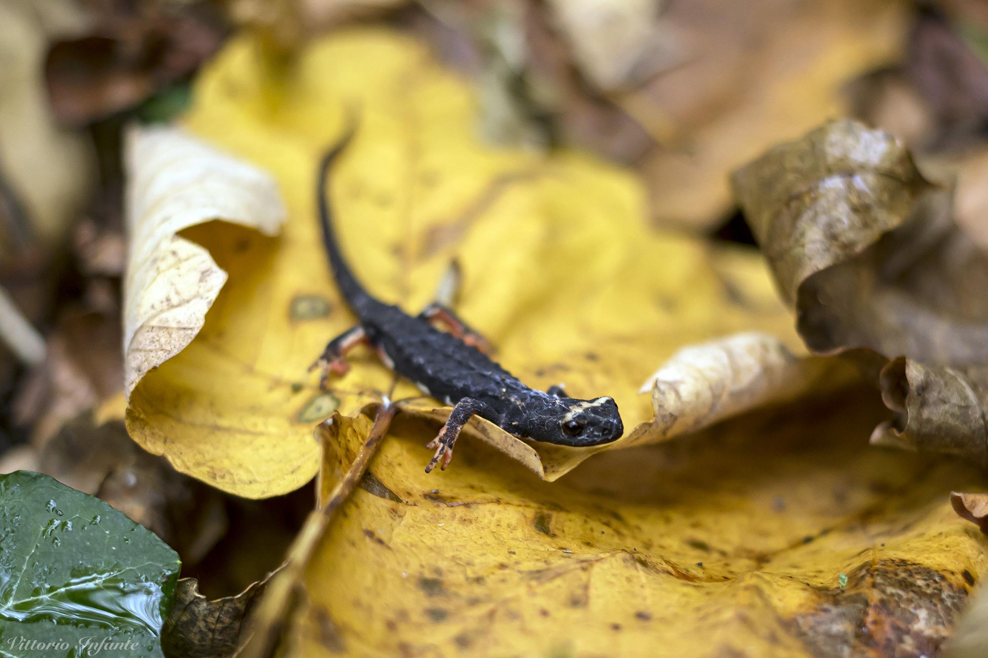 Salamandra dagli occhiali
